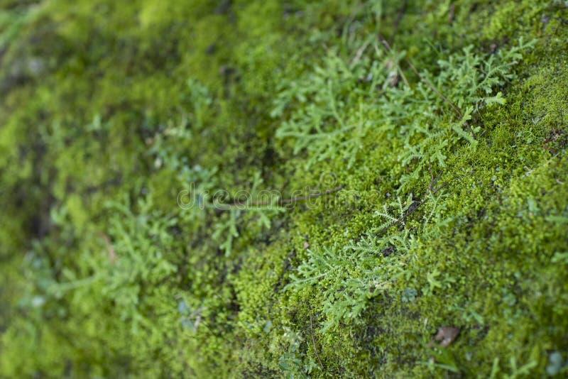 Gröna Moss Growth Yttersida av mossatextur, grön mossabakgrund royaltyfri bild