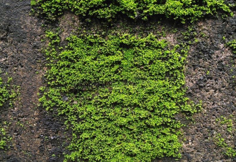 Gröna mossaväxter på den konkreta tegelstenväggen arkivbild