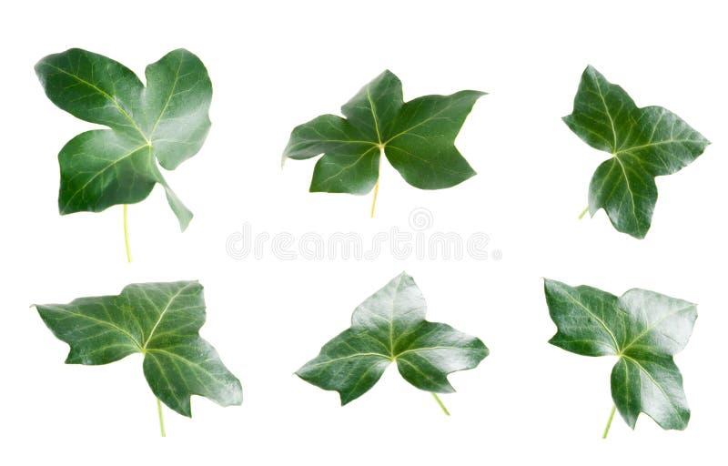 gröna murgrönaleaves royaltyfria bilder