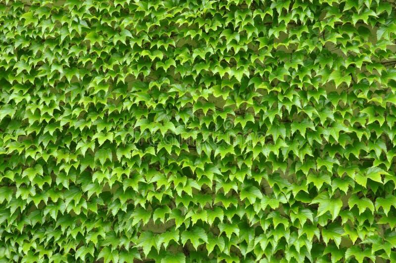 Gröna murgrönasidor på väggen arkivbilder