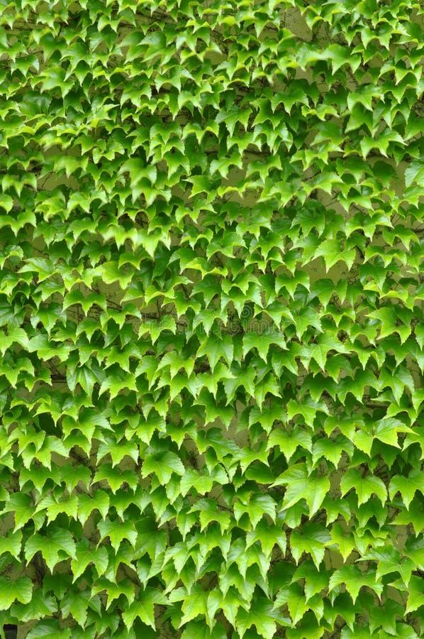 Gröna murgrönasidor på väggen fotografering för bildbyråer
