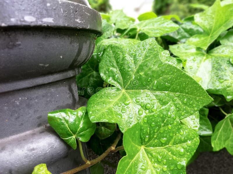 Gröna murgrönatjänstledigheter med vattendroppar royaltyfria foton