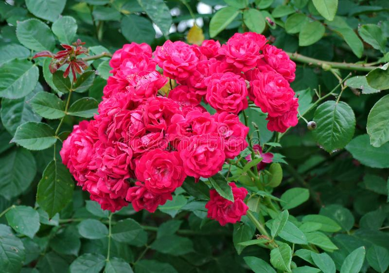 Gröna nya sidor med en härlig bukett av röda rosor i mitt är mycket färgrika och stilfulla royaltyfri bild