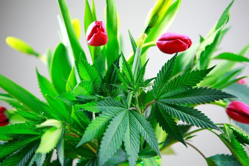 Gröna nya stora blad för marijuana (cannabis), hampaväxt i en trevlig vårblommabukett med rosa tulpan royaltyfri fotografi