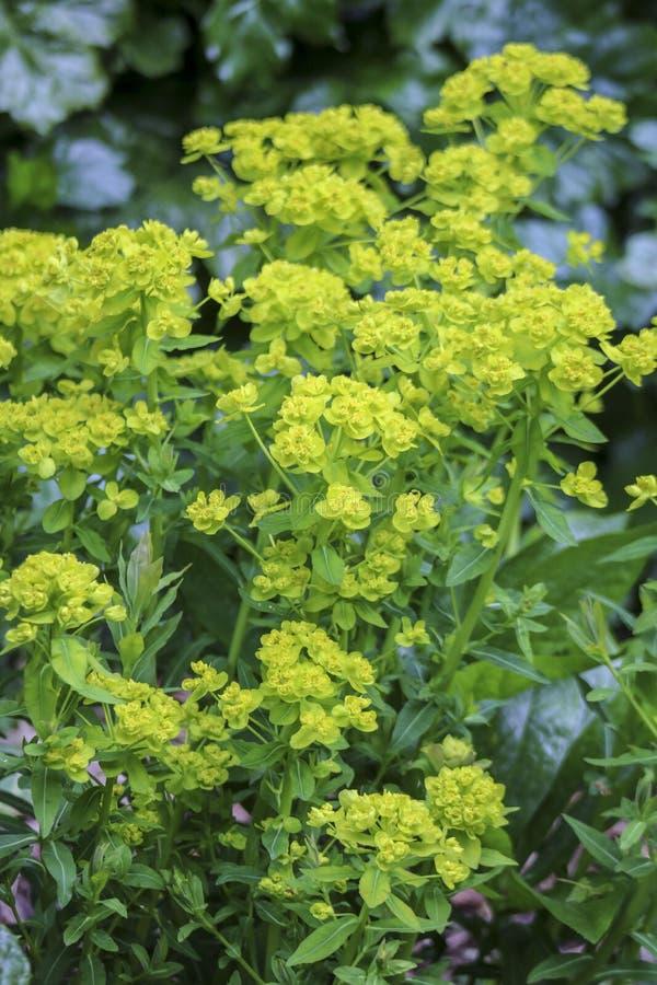 Gr?na och gula kronblad av blommor i v?r fotografering för bildbyråer