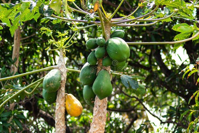 Gr?na och gula papayas som h?nger fr?n tr?d royaltyfri foto