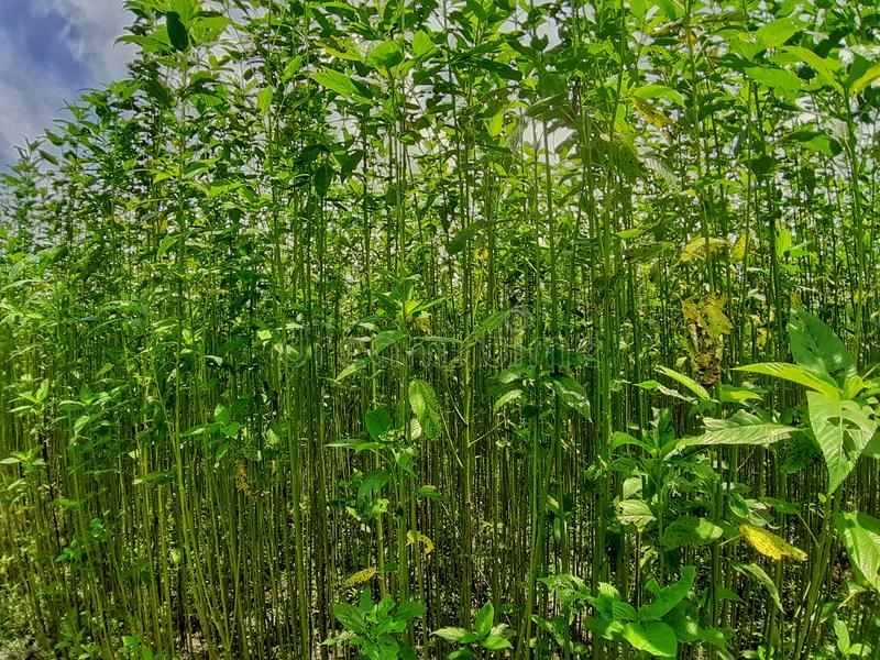Gröna och högväxta juteväxter Juteodling i Assam i Indien fotografering för bildbyråer