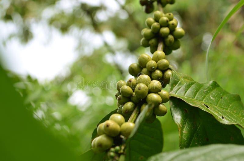 Gröna och nya kaffebönor arkivbilder