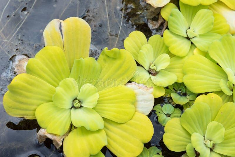 Gröna and-ogräs på vatten i asia Vatten Lett för naturlig bakgrund arkivfoton