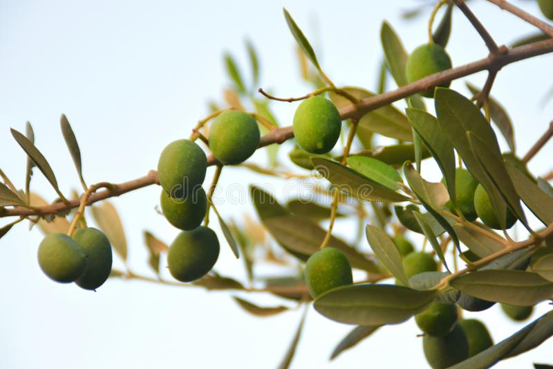 gröna olivgrön för filial royaltyfria bilder