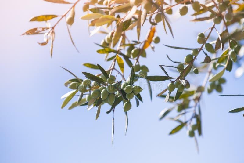 Gröna olivträdfilialer med frukter i solljus arkivbild