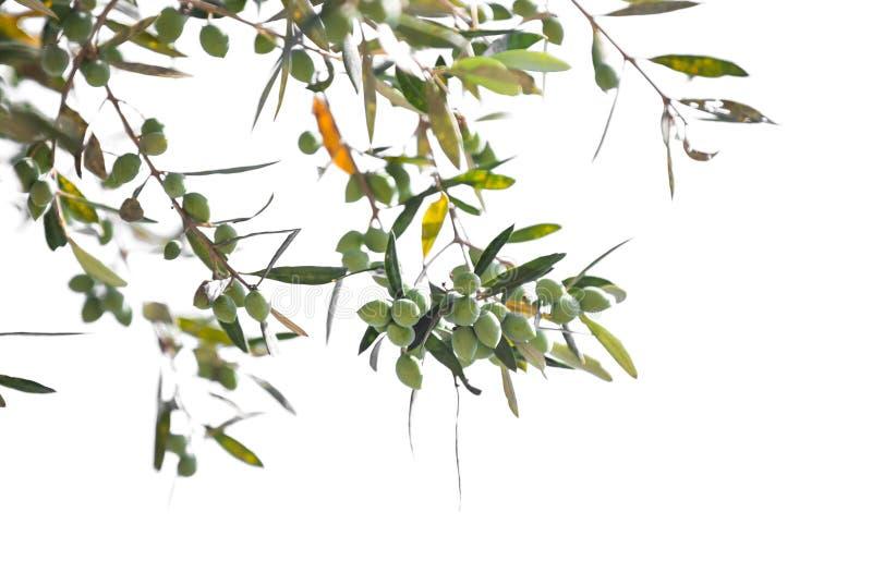 Gröna olivträdfilialer med isolerade frukter royaltyfria foton