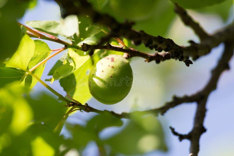 Gröna omogna aprikors i natur arkivfoton