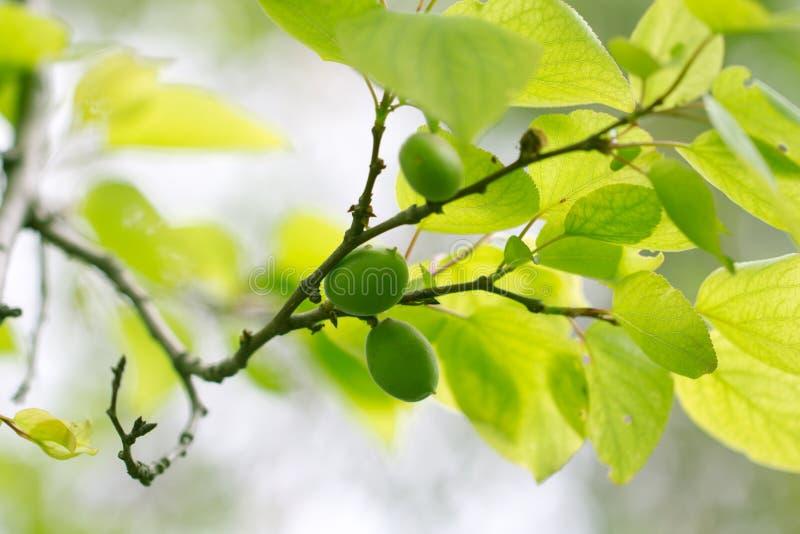 Gröna omogna aprikors på ett träd arkivbild