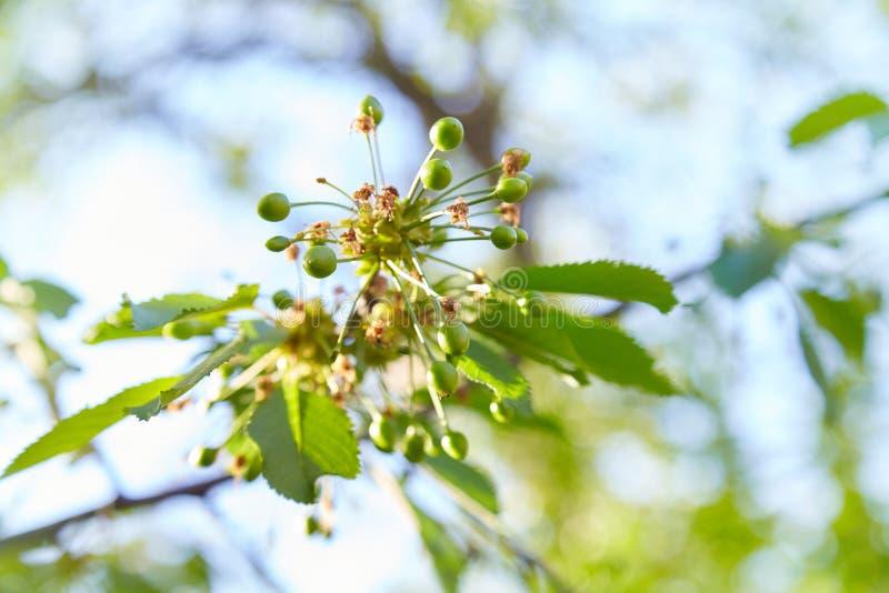 Gröna omogna körsbär som hänger på filialer i körsbärsrött träd arkivfoto