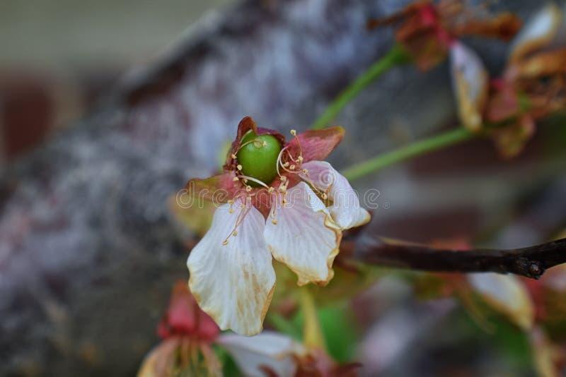 Gröna omogna mer regnig körsbärsröda bär med den vissnande blomningen fäste i detaljen, makroen som var nära upp med trädfilialer arkivfoton