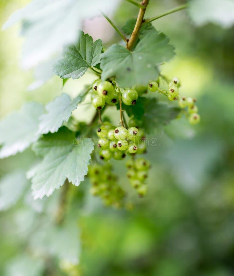 Gröna omogna vinbär i trädgården arkivfoto