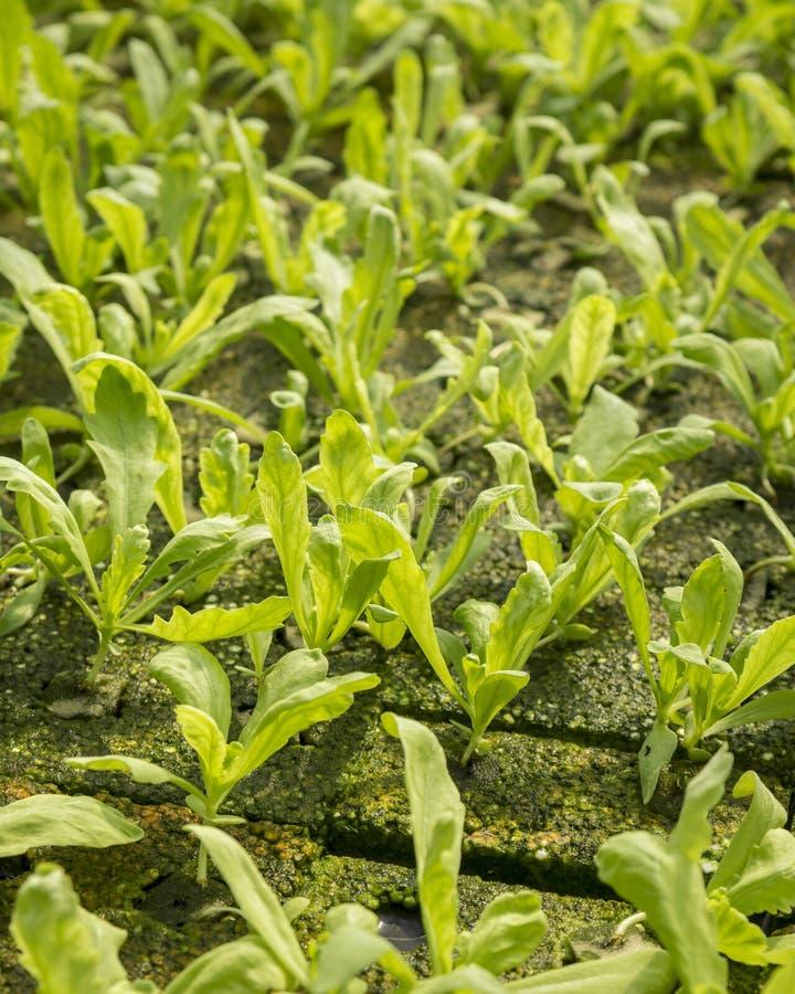 Gröna organiska växter arkivfoton