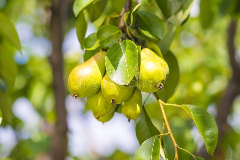 Gröna päron royaltyfria bilder