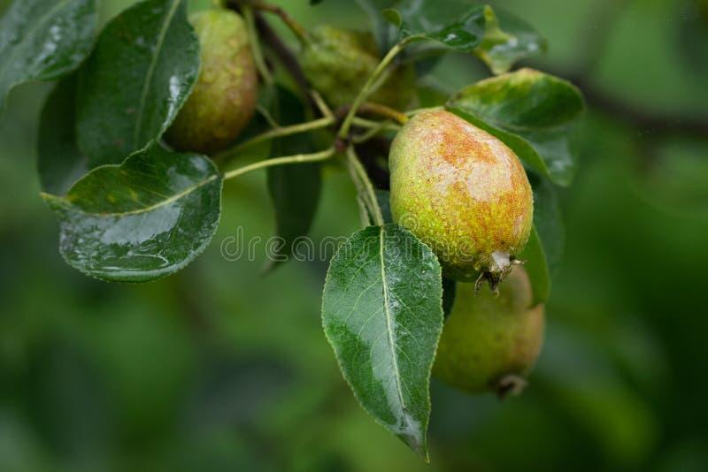 Gröna päron på en filial med regndroppar i slut upp arkivbild