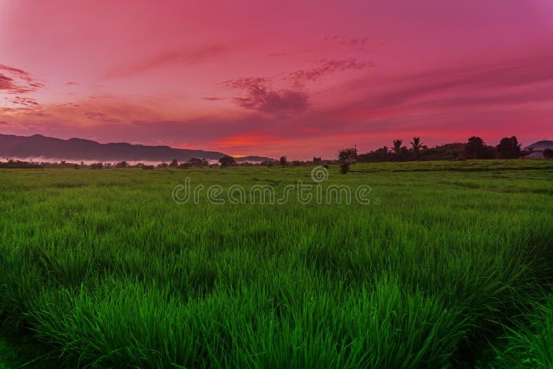 Gröna Paddy Field Under Sunrise royaltyfri bild