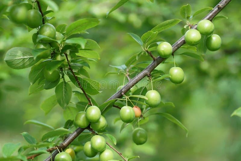 Gröna plommoner royaltyfri fotografi