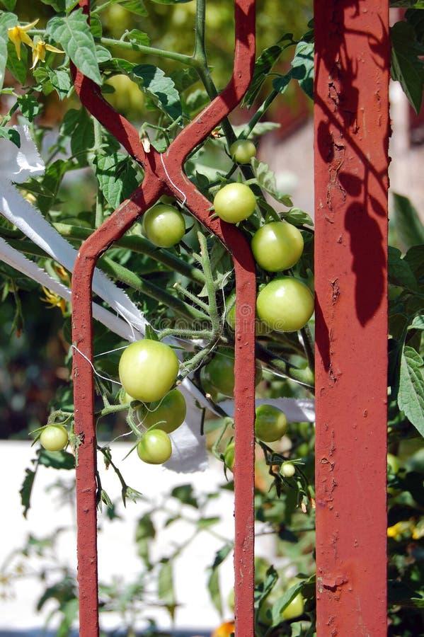 Gröna plommoner i en trädgård arkivbilder
