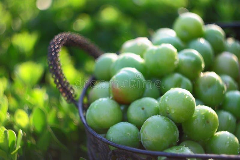 Gröna plommoner i korg arkivfoto