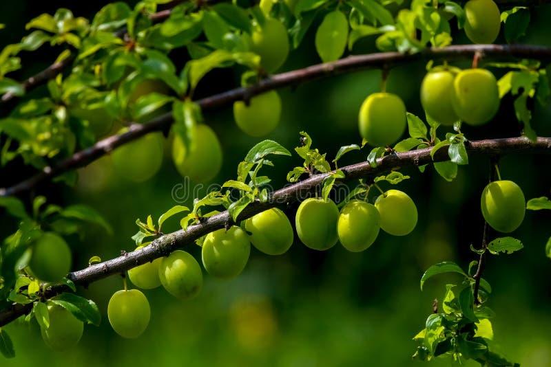 Gröna plommoner på grön trädfilial fotografering för bildbyråer