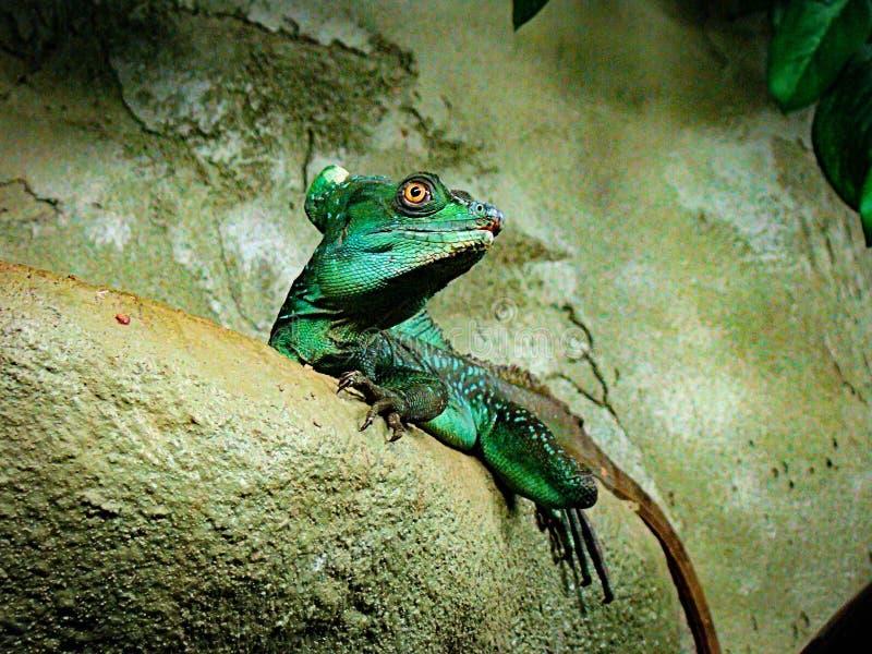 Gröna plumifrons för basilisködlaBasiliscus fotografering för bildbyråer