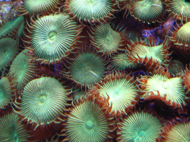 gröna polyps för knapp royaltyfri foto