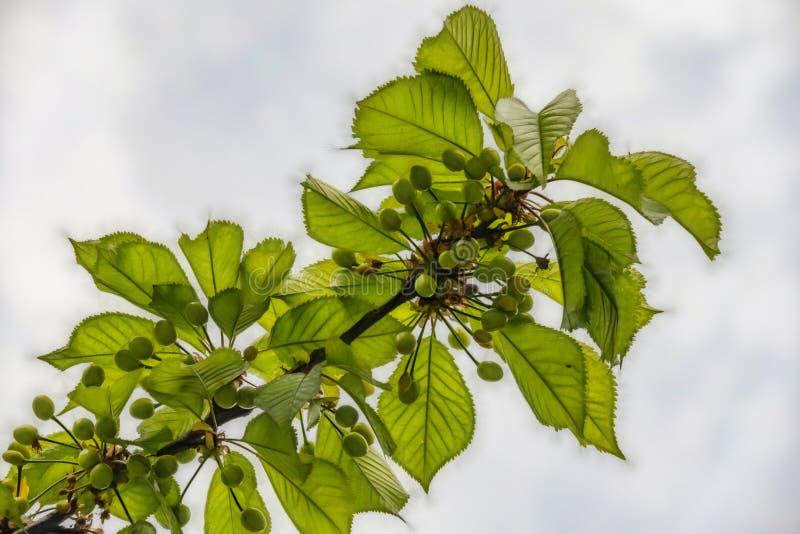 gröna rå körsbär på trädfilialer i natur royaltyfri bild