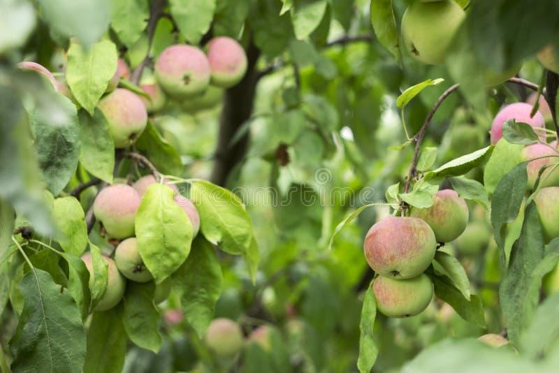 Gröna röda äpplen som växer på en filial på trädet, många frukter royaltyfri bild