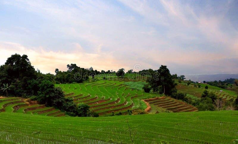 gröna riceterrasser arkivbild