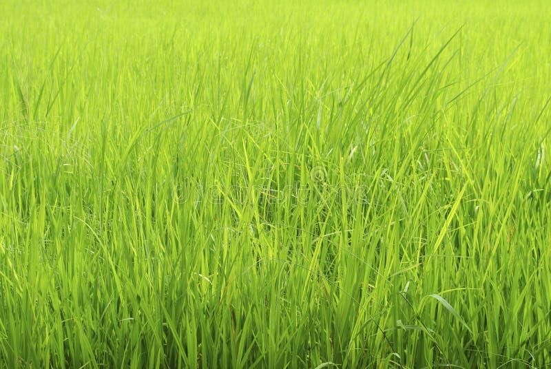 Gröna risfält royaltyfria bilder