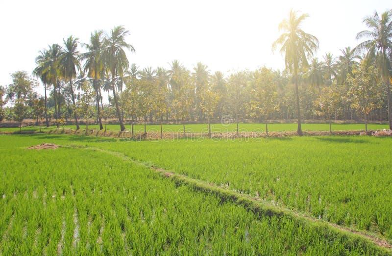 Gröna risfält eller terrasser i byn av Hampi Palmträd, sol och risfält i Hampi Tropiskt exotiskt landskap arkivfoto