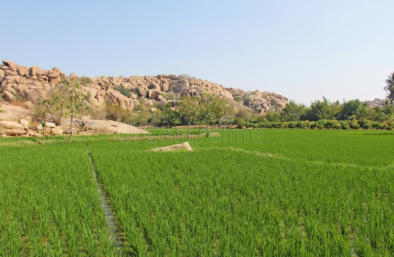 Gröna risfält eller terrasser i byn av Hampi Palmträd sol, risfält, stora stenar i Hampi Tropiskt exotiskt royaltyfria foton