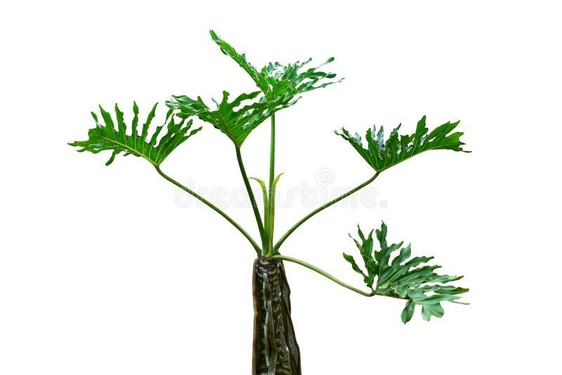 Gröna sidor av den monstera- eller dela-blad philodendronMonstera deliciosaen den tropiska lövverkväxten som växer i löst som iso royaltyfri fotografi
