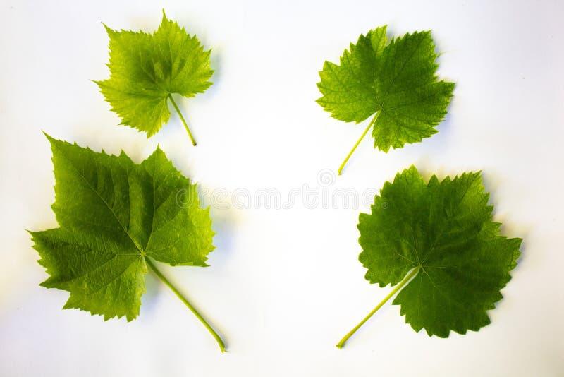 4 gröna sidor av druvor på en vit bakgrund arkivbild