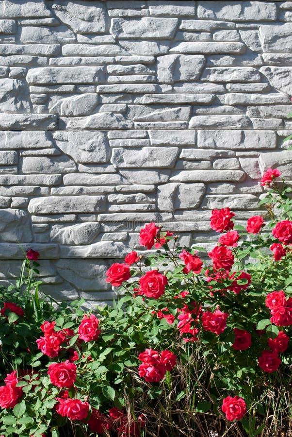 Gröna sidor av en klättraväxt och blommor av en röd lös ros på en grå bakgrund för tegelstenvägg arkivbild