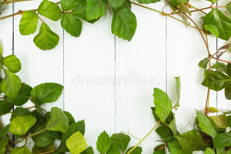 Gröna sidor av en ranka på en vit träbakgrund, utrymme för text royaltyfri foto