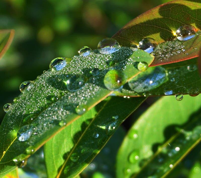 Gröna sidor av hypericumen med daggdroppar under morgonsolsken fotografering för bildbyråer