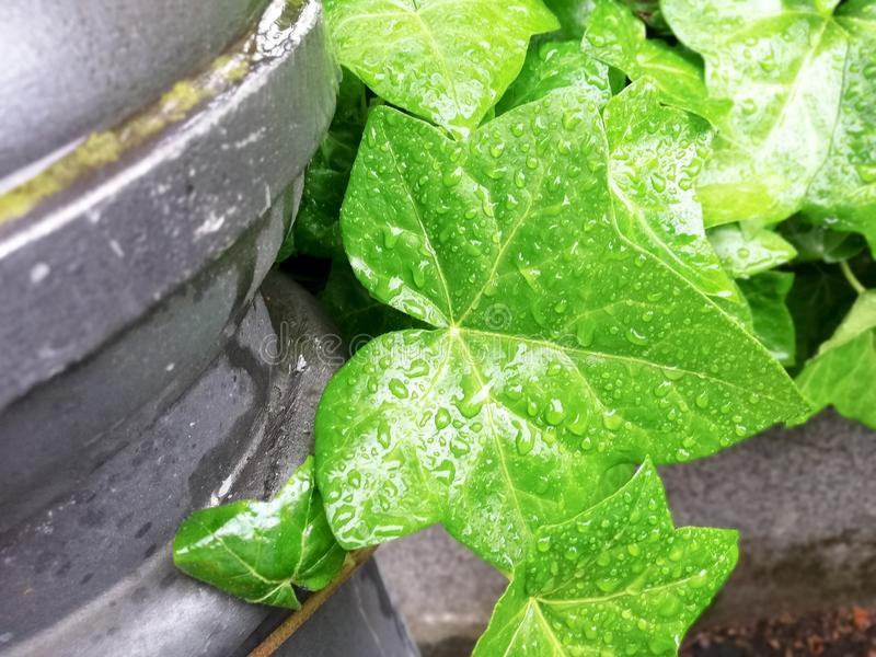 Gröna sidor av murgrönabakgrund royaltyfri fotografi