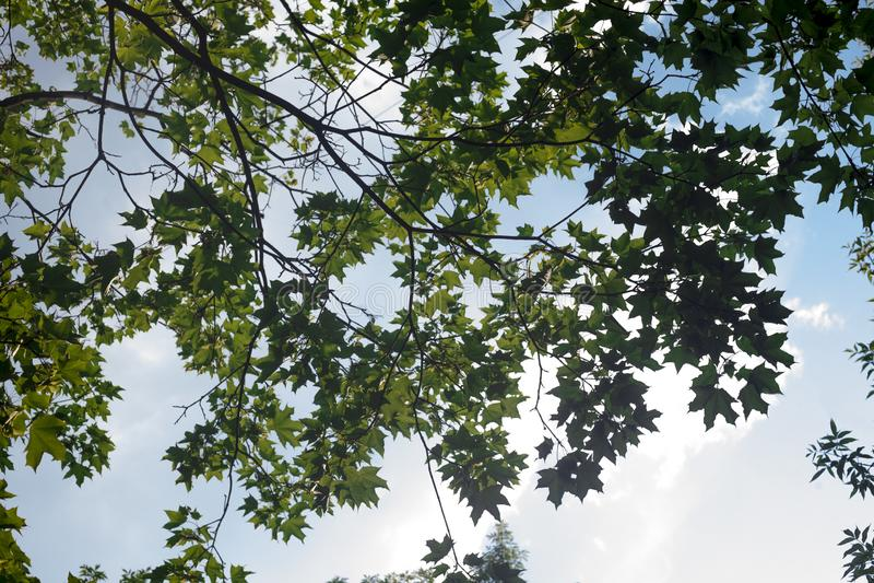 Gröna sidor av träd beskådar underifrån mot den blåa sommarhimlen arkivfoton