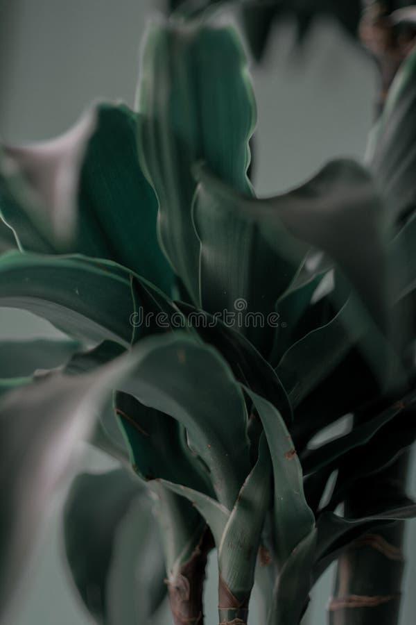 Gröna sidor av växten som växer - sidor av inomhus växter arkivbild