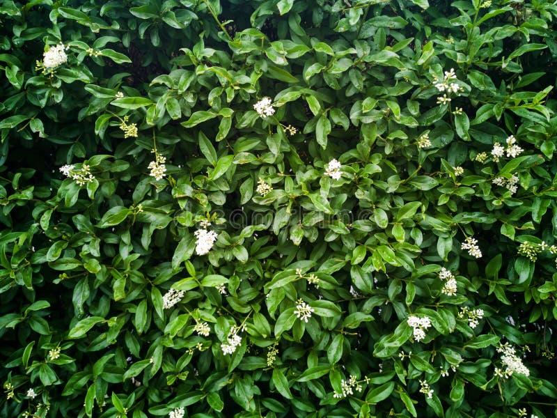 Gröna sidor eller bakgrund för busketrädvägg arkivbild