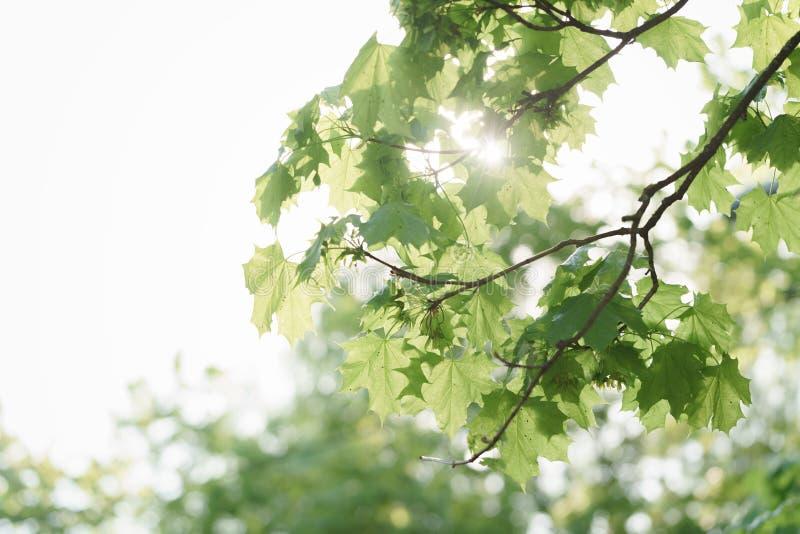 Gröna sidor för lönnträd med kryp i sol tänder royaltyfri fotografi
