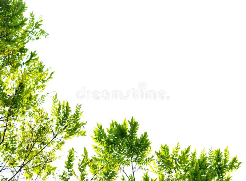 Gröna sidor och filialer isolerar på vit bakgrund för abstrakt texturmiljönatur fotografering för bildbyråer
