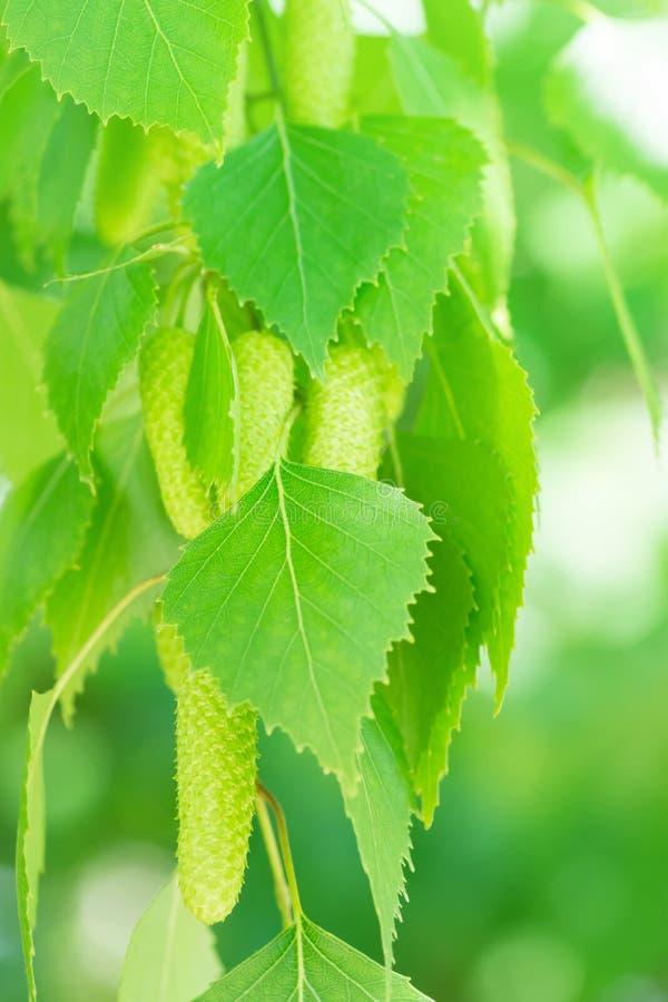 Gröna sidor och hängear för björkträd på hängande filial Suddig botanisk naturbakgrund Affisch för vårsommartapet arkivbild