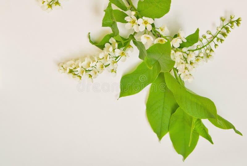 Gröna sidor och många vita blommor H?ggblomningar royaltyfria bilder